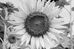 Flor de Sun en el jardín blanco y negro Imagen de archivo libre de regalías