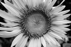 Flor de Sun en el jardín blanco y negro Fotografía de archivo libre de regalías