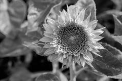 Flor de Sun en jardín Imagenes de archivo
