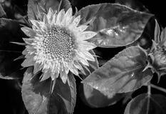 Flor de Sun en jardín Imagen de archivo