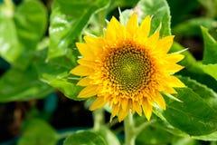 Flor de Sun en jardín Fotos de archivo