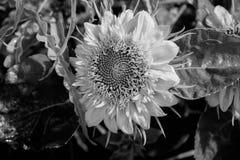 Flor de Sun en jardín Imágenes de archivo libres de regalías