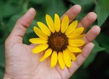 Flor de Sun en mi mano Foto de archivo libre de regalías