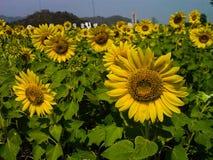Flor de Sun en Tailandia Imágenes de archivo libres de regalías