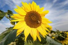 Flor de Sun en verano Fotografía de archivo libre de regalías