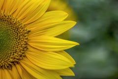 Flor de Sun Imagem conservada em estoque livre de alta qualidade dos direitos da flor do sol na luz do sol Os girassóis florescem fotografia de stock royalty free