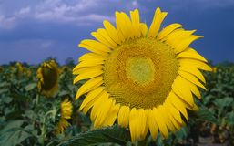Flor de Sun na flor completa Fotografia de Stock Royalty Free