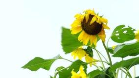 Flor de Sun no fundo do céu no vento video estoque