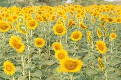 Flor de Sun o sinal da esperança para seu fundo do sucesso e da natureza Fotografia de Stock Royalty Free