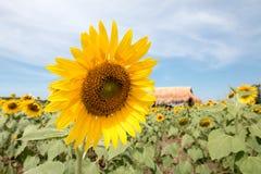 A flor de Sun olhará bonita no campo Fotografia de Stock Royalty Free