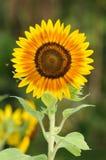 Flor de Sun por la mañana Imágenes de archivo libres de regalías