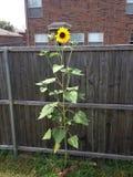 Flor de Sun que alcança a planta do céu fotografia de stock royalty free