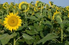 Flor de Sun que olha a outra maneira fotografia de stock royalty free