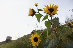 Flor de Sun de Suiza Imagen de archivo