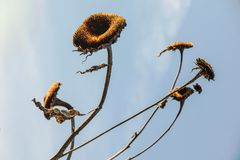 Flor de Sun de switzerlands Fotos de archivo