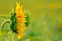 Flor de Sun - visión lateral Foto de archivo libre de regalías