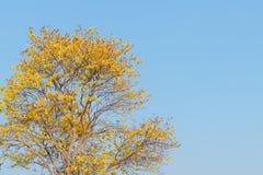 Flor de Supanika, regium de Cochlospermum Fotografía de archivo