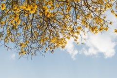 Flor de Supanika, regium de Cochlospermum Fotos de archivo