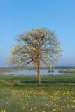 Flor de Supanika, regium de Cochlospermum Foto de archivo libre de regalías