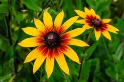 Flor de susan de olhos pretos no verão imagens de stock