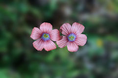 Flor de sylvestris do Malva Imagens de Stock Royalty Free