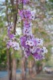 Flor de Tabaek Bungor Fotos de archivo libres de regalías