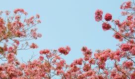 Flor de Tabebuia Fotografía de archivo