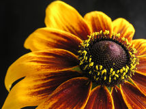 Flor de Tagetes Foto de archivo libre de regalías