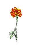 Flor de Tagetes Fotografía de archivo