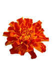 Flor de Tagetes Foto de archivo