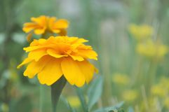 Flor de Tagetes de la maravilla Foto de archivo