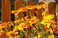 Flor de Tagetes en macizo de flores Imagenes de archivo