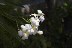 Flor de Tailândia imagem de stock royalty free
