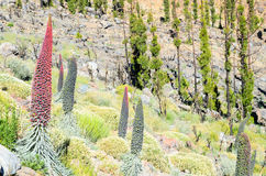 Flor de Tajinaste de la isla de Tenerife Imagenes de archivo