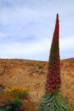 Flor de Tajinaste (wildpretii del Echium) Imagen de archivo libre de regalías