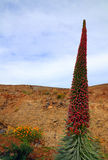 Flor de Tajinaste (wildpretii do Echium) Imagem de Stock Royalty Free
