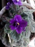 Flor de terciopelo fotografía de archivo libre de regalías