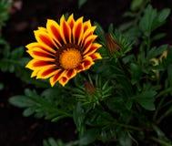 Flor de tesoro Imagenes de archivo
