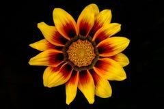 Flor de tesoro Imagen de archivo libre de regalías
