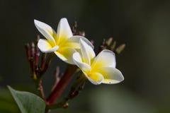 Flor de Tiaré en Nepal Fotografía de archivo libre de regalías
