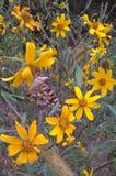Flor de Tickseed Foto de archivo libre de regalías