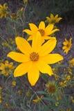 Flor de Tickseed Imagen de archivo