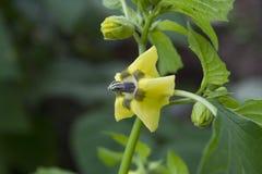 Flor de Tomatillo Foto de Stock