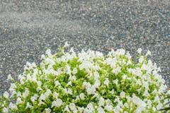 Flor de Torenia ou de ossinho da sorte Fotos de Stock