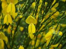 Flor de Toxo Fotos de Stock
