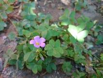 Flor de trebol imagens de stock