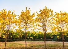 A flor de trombeta amarela Imagens de Stock