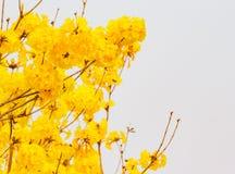 A flor de trombeta amarela Fotos de Stock