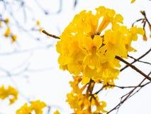 Flor de trombeta amarela em Tailândia Fotografia de Stock