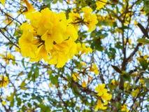 Flor de trombeta amarela em Tailândia Imagem de Stock Royalty Free